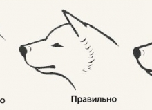 Standart-Akita-inu-golova-2