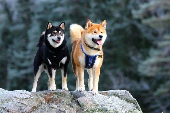 здоровье собаки акита-ину