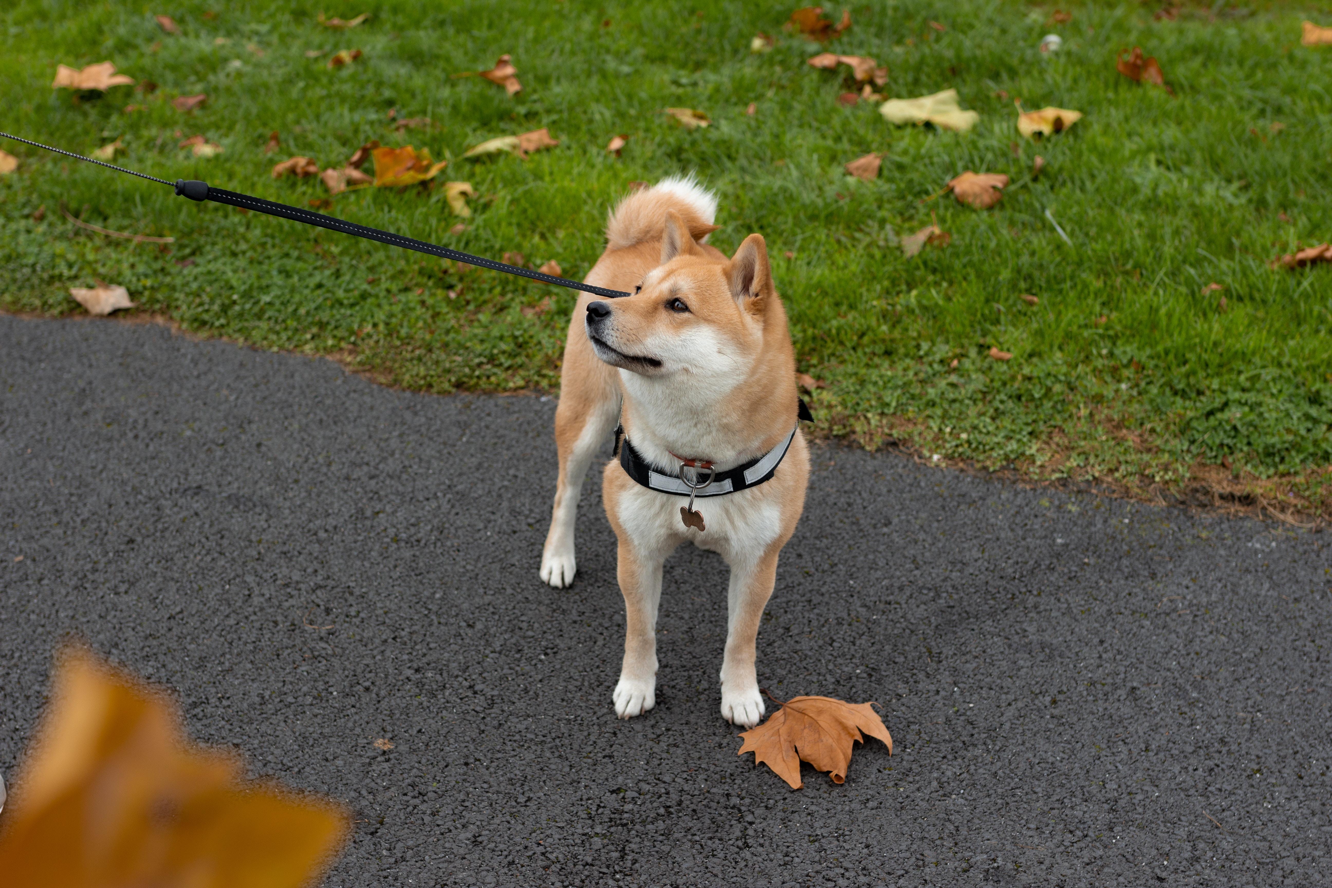 дрессировка собак акита-ину